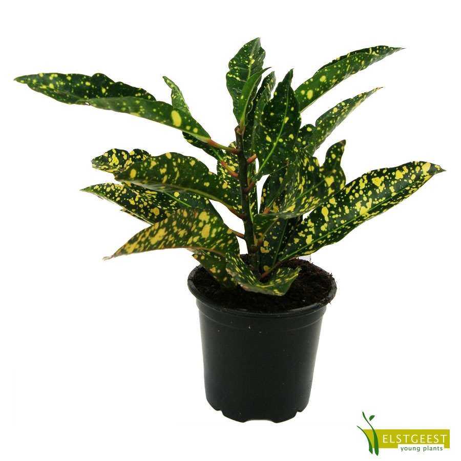 codiaeum-gold-star-1