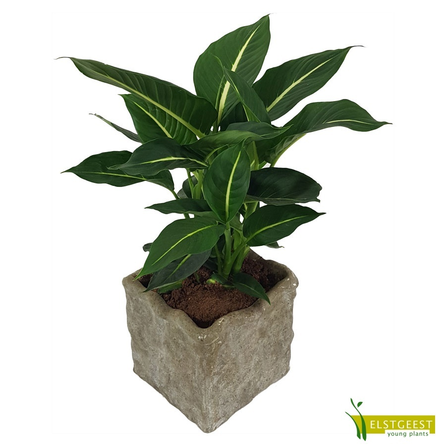 dieffenbachia-green-magic