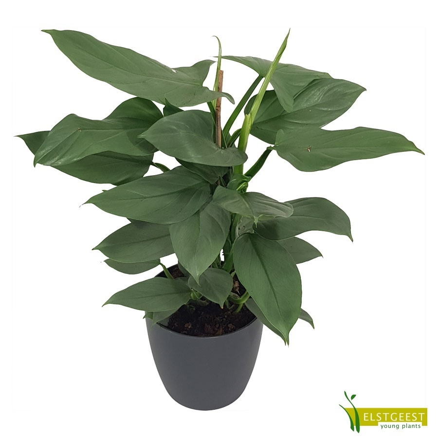philodendron-grey-1