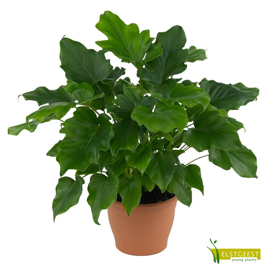 philodendron-little-hope-1