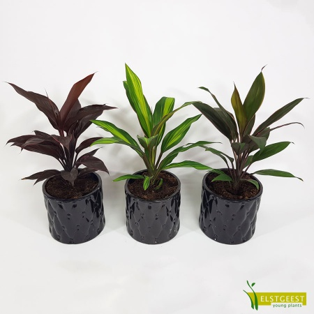 cordyline-kiwi-mix
