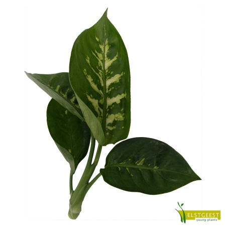dieffenbachia-tropic-snow-cutting