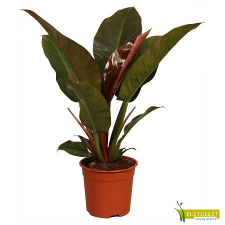 philodendron-imperial-red-1
