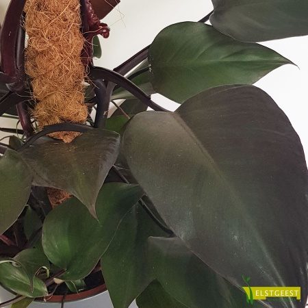 philodendron-new-red-royal-queen-detail