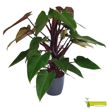 philodendron-ruby-mandianum-1