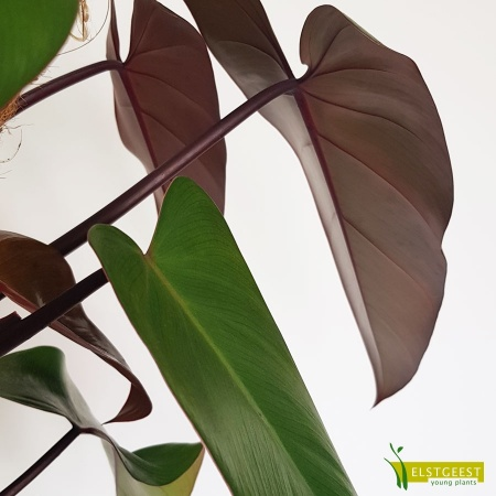 philodendron-ruby-mandianum-detail