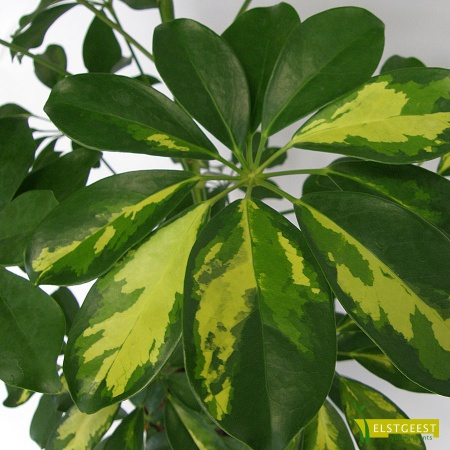 schefflera-gold-capella-close-up